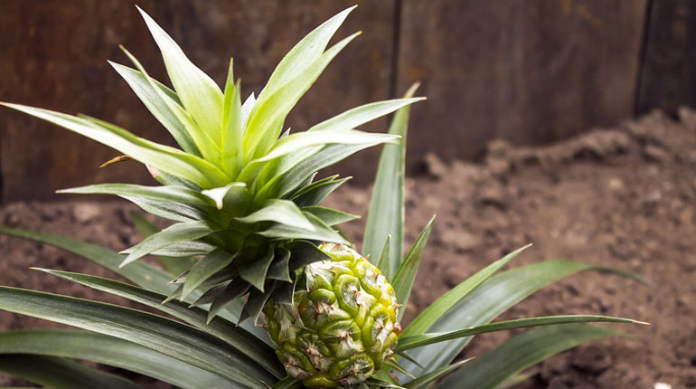 ananas-jak-sadzic
