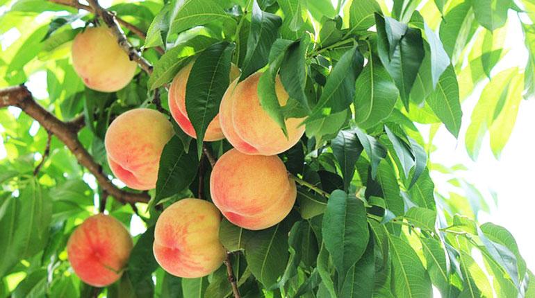 brzoskwinia-owoc