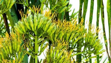 jak-kwitnie-agawa