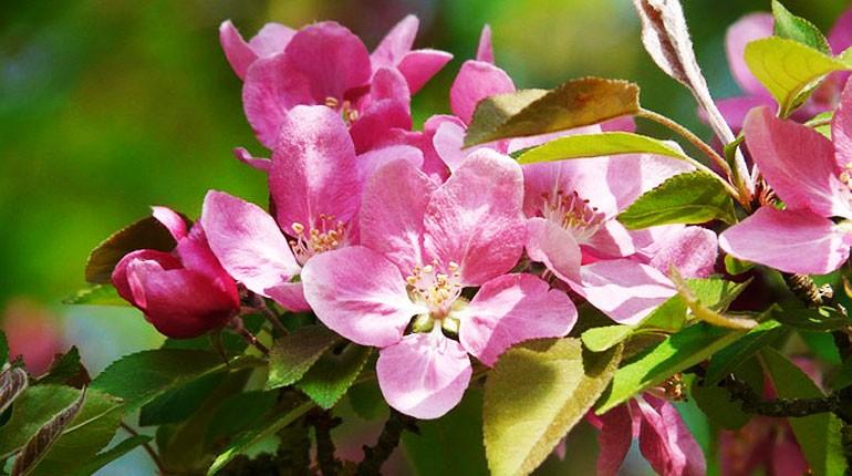 jak-kwitnie-brzoskwinia