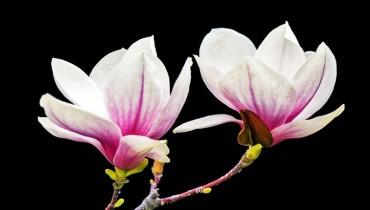 jak-kwitnie-magnolia