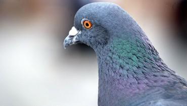 jak-odstraszyc-golebie