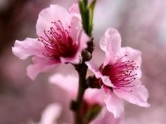 Jak kwitnie brzoskwinia?