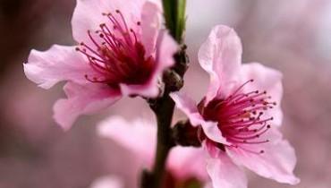 Jak kwitnie brzoskwinia