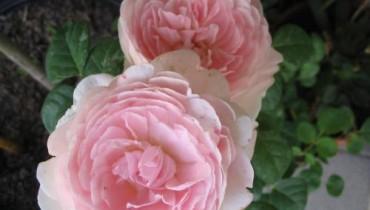 Jal sadzić róże