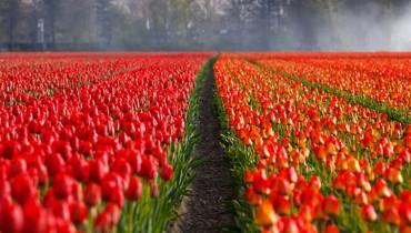 jak-sadzic-tulipany