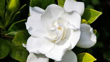 gardenia-jak-dbac