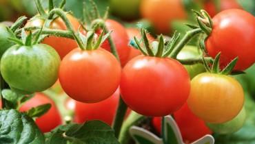 jak-pielegnowac-pomidory