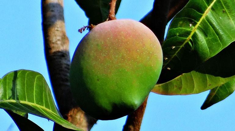 jak-sadzic-mango