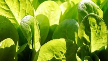 jak-uprawiac-salate