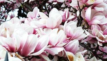 jak-wykorzystywac-magnolie