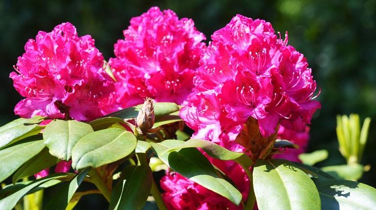 rododendron-jak-dbac