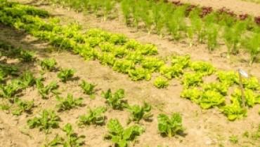 uprawa salaty