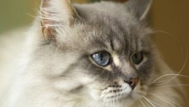 Długowłosy kot