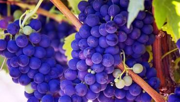 jak-uprawiac-winogrono