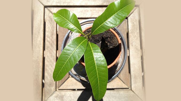 mango-jak-sadzic