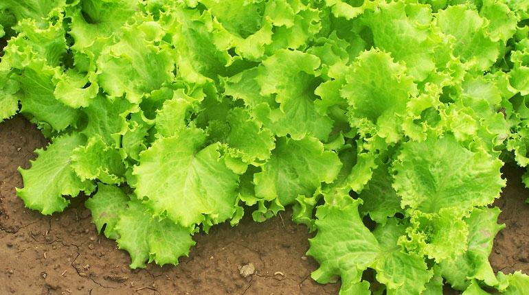 salata-jak-sadzic