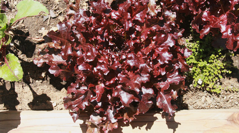 salata-debolistna